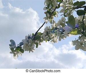 closeup apple tree bloom - Closeup of beautiful white fruit...