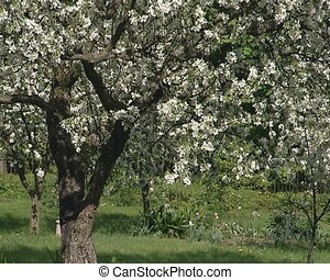 Spring garden blooming apple trees and thick green grass.