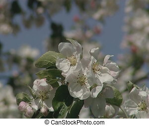 white spring tree bloom - Amazing closeup of white spring...