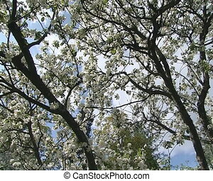 flowering apple tree sky - Flowering blooms of apple tree...