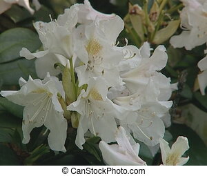 close rhododendron bloom - Closeup of white blooming...