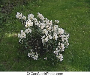 white blooms rhododendron - White flowering rhododendron...