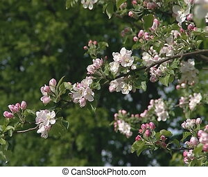 pink white tree blooms - Amazing closeup of pink, white...