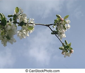 spring ring fruit tree - Amazing closeup of white spring...