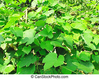 Vitis foliage - Green grapevine foliage leaves useful as a...