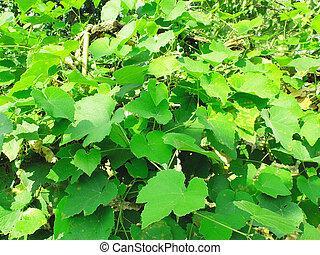 Vitis foliage - Green grapevine foliage leaves useful as a...