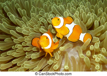 Two Clown Anemonefishes - Two Clown Anemonefish, Amphiprion...