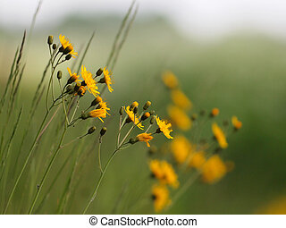 narrowleaf hawkweed - Wild yellow flowers on a bank with...