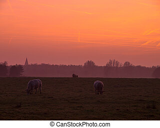 Grazing cattle during spectacular sunset