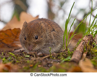 Bank vole looking for food - Bank vole (Clethrionomys...