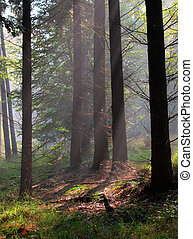 Sunrays are shining through morning haze in a mixed forest...