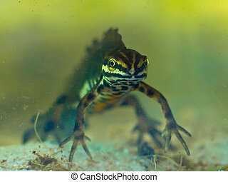 Male newt submersed in natural habitat