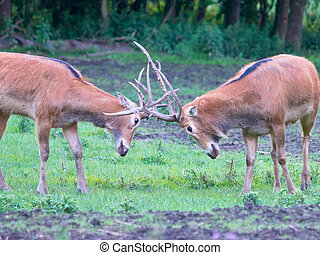 fighting deer