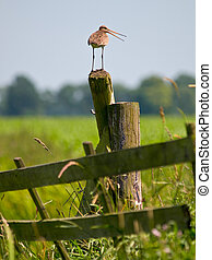 Alarming Black-tailed Godwit sitting on pole