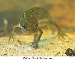 female newt lissotriton vulgaris frontal view