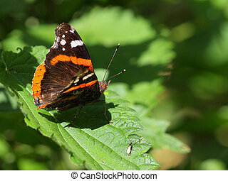 Admiral butterfly resting on nettle its host plant