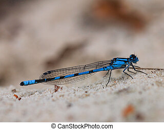 Closeup of blue dragonfly on grey background