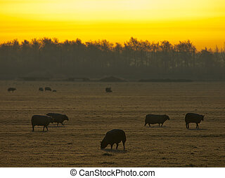 Sheep in rimed winter landscape - Sheep are grazing in rimed...