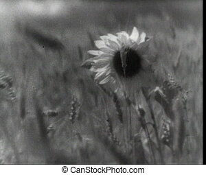 Sunflower among the rye, vintage b&w 16mm footage
