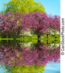 Spring Reflection - Pink and White Blossom fruit trees...