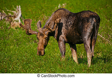 Moose - Young moose grazing on the grass in south dakota