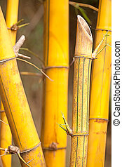 Asian Bamboo for background