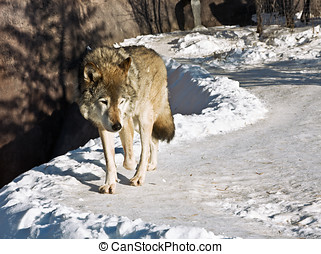 grey wolf - hungry wolf in the winter of looking out for...