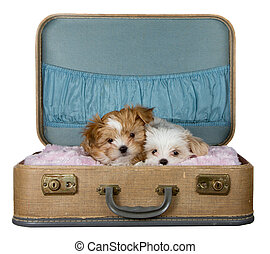 two small puppies in a vintage suitcase - Adorable puppies...