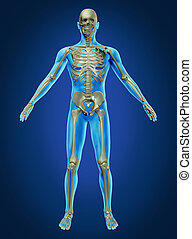Human Body and Skeleton - Human body and skeleton with the...