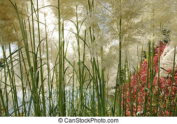 Pampas grass, Cortaderia sellona in autumn garden