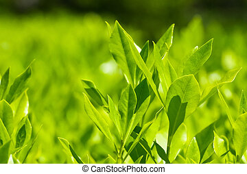 bay leaf - Plantation laurel bush sunny day.