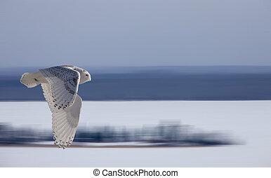 Snowy Owl in Flight winter Saskatchewan Canada