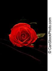 美しい, バラ, 暗い, 赤, 背景