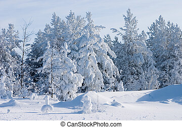 Evergreen fur-trees covered by a snow on the eve of Christmas