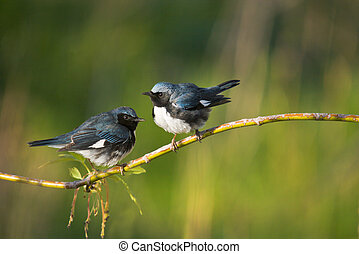 Ontario birds - Black-Throated Blue Warblers perching on...