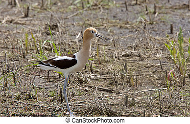 Avocet in Saskatchewan Canada spring beauty colorful