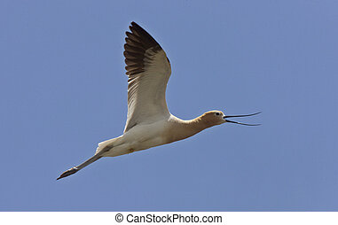 Avocet in Saskatchewan Canada in flight - Avocet in...