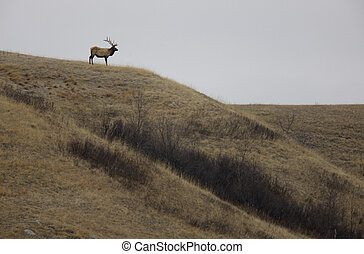 Bull Elk on Hill in Saskatchewan Canada scenic