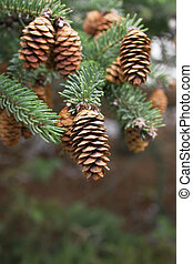 cone of conifer tree and green needles