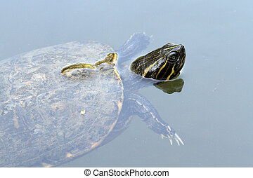 Red-eared slider - details of a Red Eared Slider Turtle