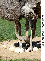 Ostrichs and eggs - details of ostrich with eggs