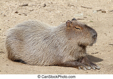 capybara  - datails of a capybara in zoo
