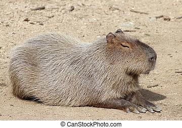 capybara  - datails of a capybara in zoo