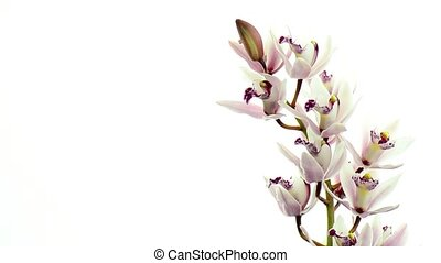 Beautiful orchids rotating on white background