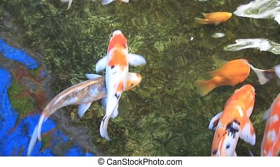 Tranquil Koi Fish Swimming in Pond