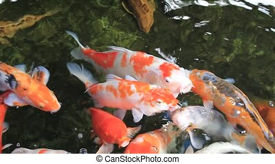 Tranquil Koi Fish Swimming in Pond - Tranquil Koi Fish Pond...
