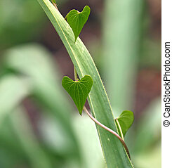 Heart Leaves - Climbing plant with heart-shaped leaves...