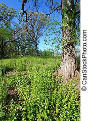 Garlic Mustard in Oak Forest - Invasive Garlic Mustard...