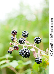 blackberry bush - blackberry hanging on the branch