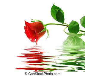 美しい, 反射, バラ, 滑らかである, 表面, 水, 背景, 白, 赤